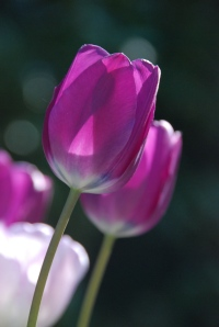 Shine on Tulips